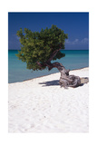 Eagle Beach with a Fofoti Tree Aruba Photographic Print by George Oze