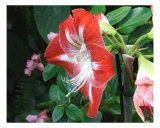 Red Azalea Photographic Print by Bill Berggren