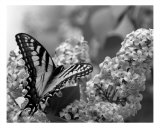 Swallowtail And Lilacs Photographie par Andrea Ferguson