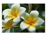 Plumeria Photographic Print by Patrice Warner