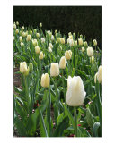 Row Of White Tulips Photographic Print by Carli Haas
