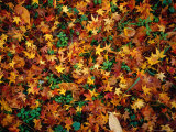 Fallen Autumn Leaves, Kyoto, Japan Photographic Print by Frank Carter