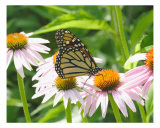 Monarch Butterfly On A Cone Flower Photographic Print by Bill Berggren
