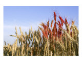 Red Wheat Photographic Print by Joel Stuthman