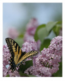 Stopped To Smell The Lilacs Photographic Print by Andrea Ferguson