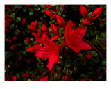 Blazing Azalia Photographic Print by Sandra Harris