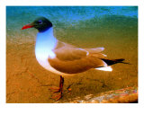 Black Headed Gull Giclee Print by Randi Bailey