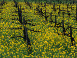 Detail of Pruned Vines and Mustard Blossoms, Napa Valley, USA Photographic Print by Nicholas Pavloff