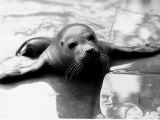 Seal Photographic Print