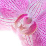 Orchid at Spring Show Photographic Print by Pat Canova