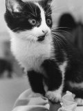 A Nervous Looking Kitten Photographic Print