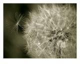 Seedy Dandelion Photographic Print by Mary Lane