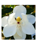 Magnolia White Photographic Print by Florene Welebny