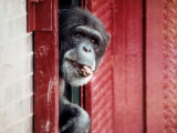 Chimpanzees Photographic Print