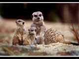 New Baby Meerkats at Edinburgh Zoo, September 1999 Photographic Print