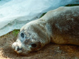 Peeps the Baby Seal Recovering from Killer Virus at the Norfolk Rescue Centre, July 1989 Photographic Print
