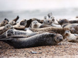 Seals on the Blakney Point Reserve Photographic Print