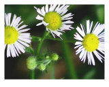 Heath Aster Small White Flowers Photographic Print by Sheila Mccrea