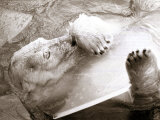 Sabrina the Polar Bear with a Chunk of Ice at London Zoo, January 1979 Photographic Print