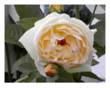 Butter Rose Photographic Print by Dave Simpson