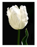 The White Tulip Photographic Print by Wendy Theisen-halsey