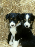 Border Collie Puppies, Sat Amongst Straw Bales Photographic Print by Mark Hamblin