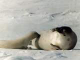 Suckling Seal Pup on Snow, 1995 Photographic Print