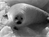 Seal Hunting in Canada, March 1968 Photographic Print