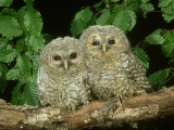 Tawny Owl, Chicks, 2 Owlets Perched on Branch, West Yorkshire Photographic Print by Mark Hamblin