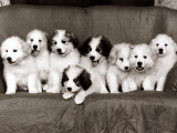 Pyrenean Mountain Dog Puppies, January 1986 Fotografisk tryk