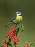 Blue Tit, Perched on Wild Currant Blossom, UK Photographie par Mark Hamblin