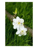 White Flowers Of Plum On A Grass Photographic Print by Sergejus Lamanosovas