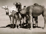The Sahara Camel, Youngsters Have Black Noses and Later Changes to All Over Creamy White Photographic Print