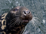 Sammy the Seal in Bangor Marina, July 2002 Photographic Print