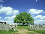 Oak Tree, with Cow &amp; Dry Stone Wall Near Litton, Peak District National Park, UK Photographic Print by Mark Hamblin
