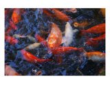 Koi Frenzy Photographic Print by Nicholas Carter