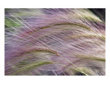 Wild Rye 3 Photographic Print by Joel Stuthman