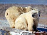 Polar Bears at Churchill on the Hudson Bay Photographic Print