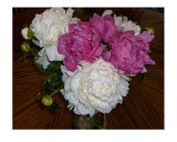 Bouquet Of Fresh Pink & White Peonies Photographic Print by Darlene Navor