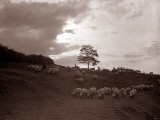 A Shepherd Surveys His Flock at the End of the Day, 1935 Photographic Print