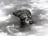 Seal Swimming in Ice Due to Cold Weather at London Zoo, January 1982 Photographic Print