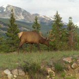 Elk Grazing on Grass, Jasper National Park, Canada Photographic Print by Keith Levit