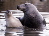 Seals on the Farne Island off the Northumberland Coast in Northern England, November 1972 Photographic Print