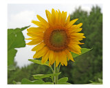 Sunflower Photographic Print by Tamara Shurling