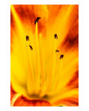 Burning Lily Photographic Print by Balan Vinod Kumar