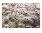 Wild Rye 2 Photographic Print by Joel Stuthman