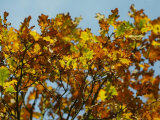 Branches of an Oak Tree with Its Leaves Turning Golden at Kenilworth Castle in Warwickshire Photographic Print