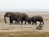 Zebra, Elephants, Born Free Charity, Kenya, September 2004 Photographic Print