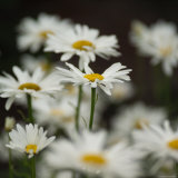 White Daisy Flowers Photographic Print by Keith Levit