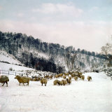 Sheep Gather Near the Ruins of Montgormery Castle for Shelter During Winter Snows, February 1962 Photographic Print